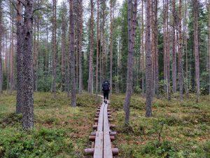 Matti pitkospuilla Kolin metsässä