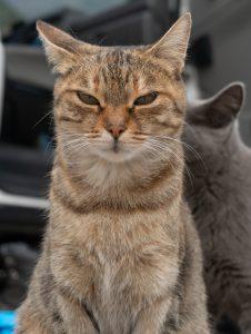 Vaalea kissa Cima Capin parkkipaikalla