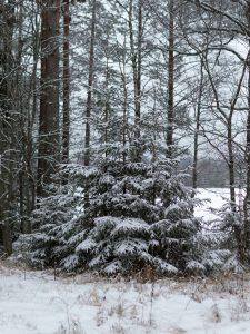 Lumiset puut mökillä