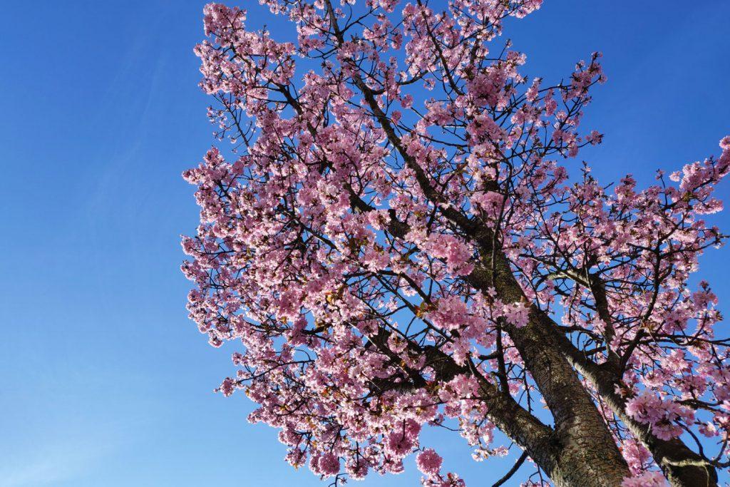 Kirsikat kukkivat nyt kauniisti Eindhovenissa
