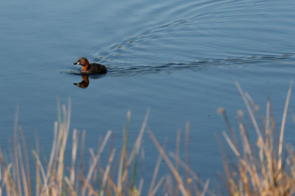 De Groote Peel kansallispuistossa oli paljon niin vesilintuja kuin muitakin lintuja