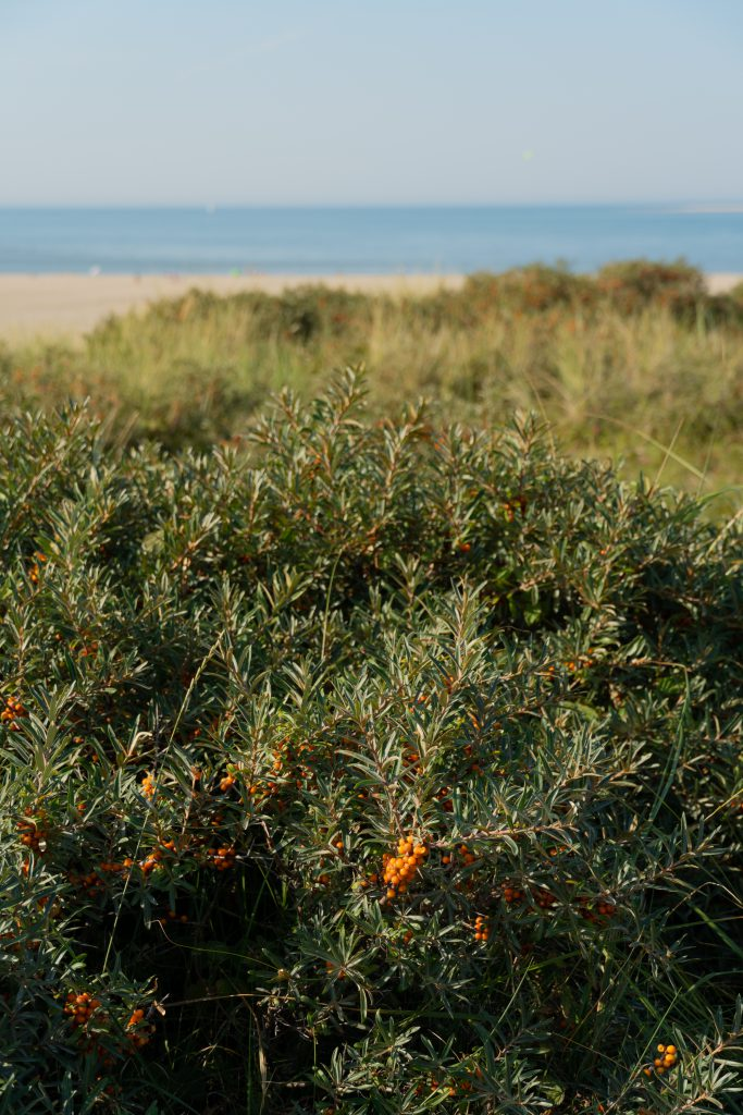 Texel ranta ja tyrnipensaat
