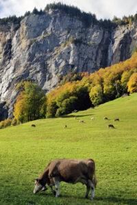 Lehmä Lauterbrunnenissa