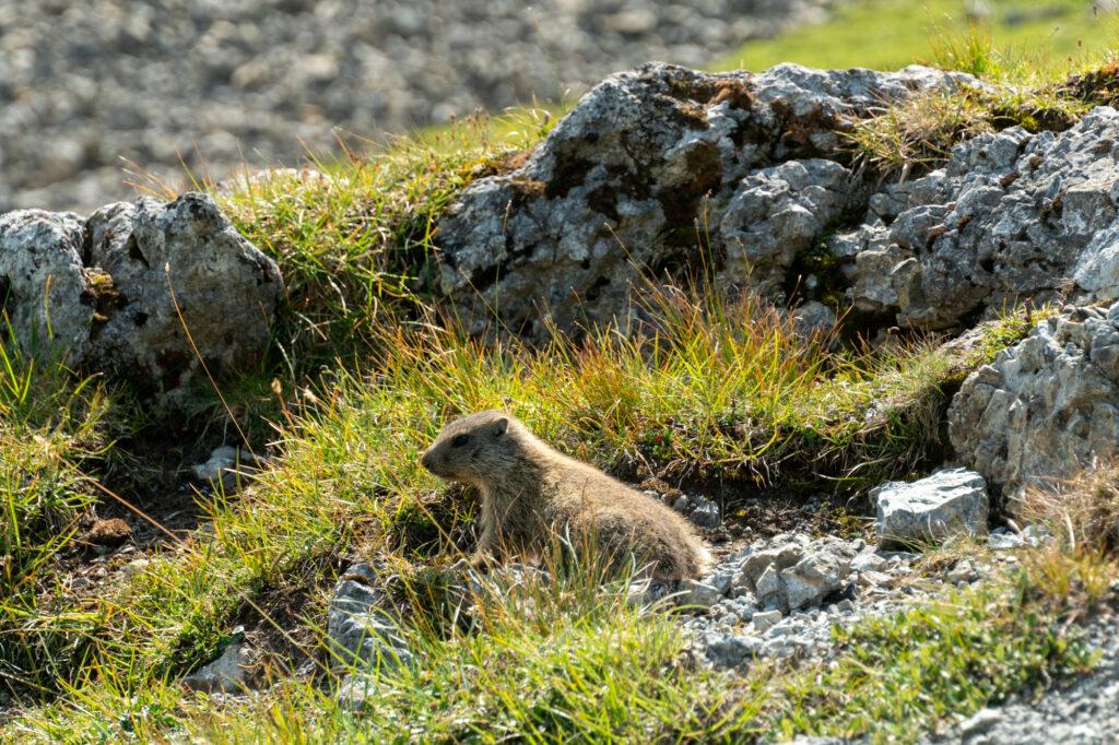 Murmeli Sveitsin kansallispuistossa